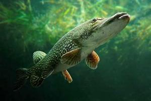 Kalaa uudella tavalla, 2. päivä Fisk på nya sätt, dag 2 @ Raseko FoodLaboratoy