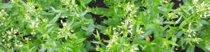 Erikoiskasvituotteiden jatkojalostus ja vienti on tulevaisuutta -webinaari