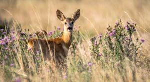 Metsästysseurojen näkemykset valkohäntäpeurasta -webinaari